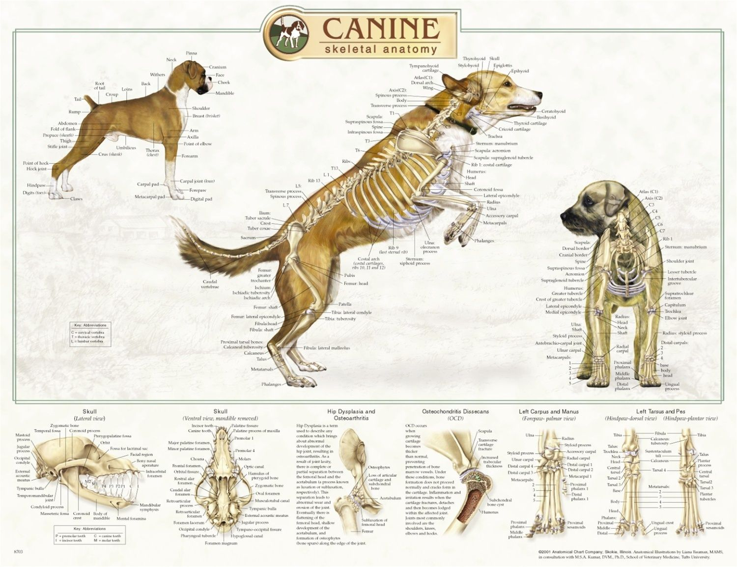 dog internal anatomy diagram parallel wiring for recessed lights canine skeletal system