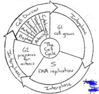 The Cell Cycle Coloring Worksheet Answers sheet 1 ...