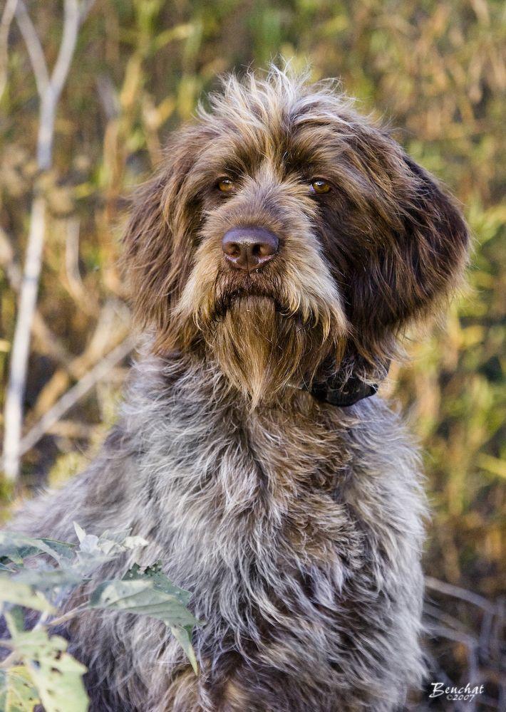 German Longhaired Pointer Brown