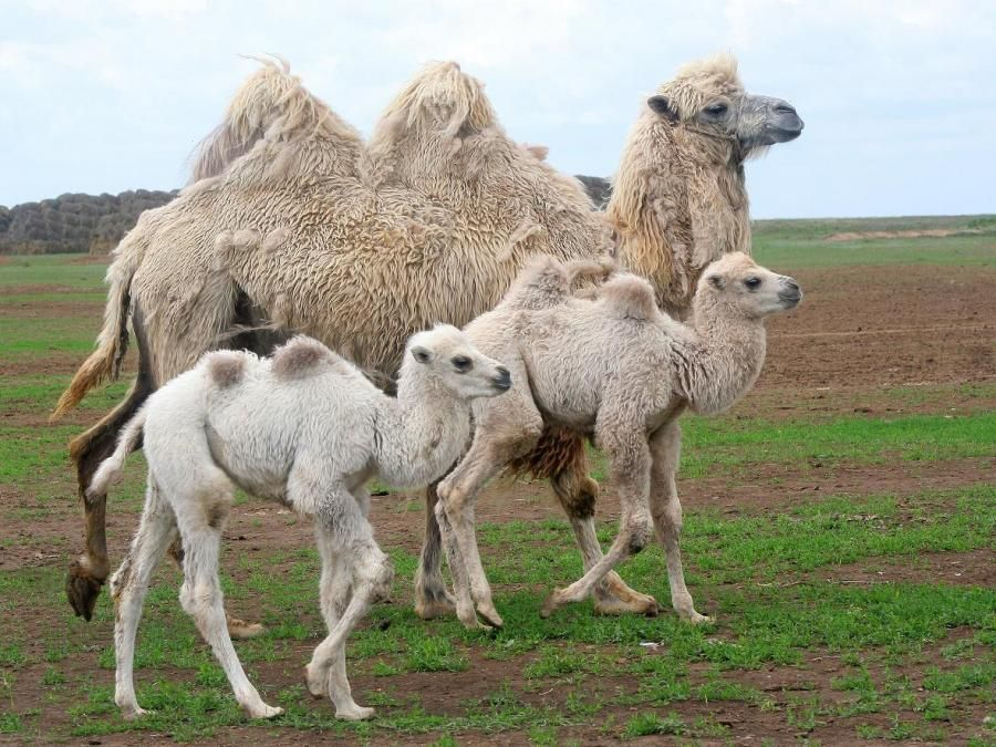 Small Cute Baby Kissing Wallpaper 25 Best Ideas About Baby Camel On Pinterest Camels