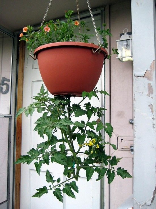 Upside Down Tomatoes DIY Video Instructions Gardens An Eye And An