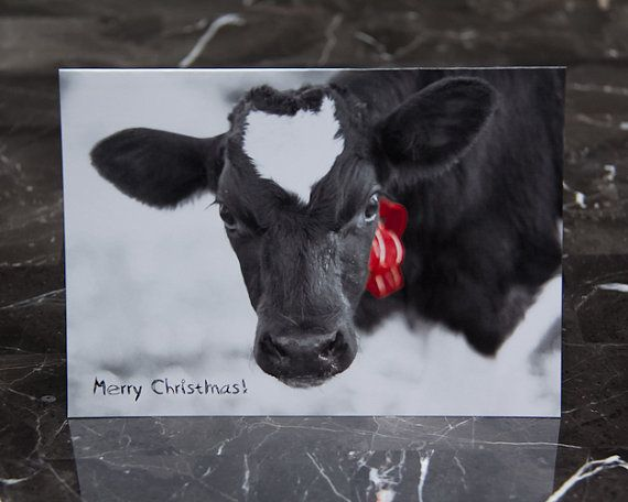 Dairy Cow Christmas Card Holstein Photo Red By