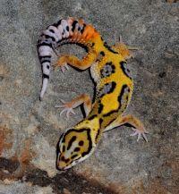 Leopard Geckos For Sale by Designer Geckos | Leopard ...
