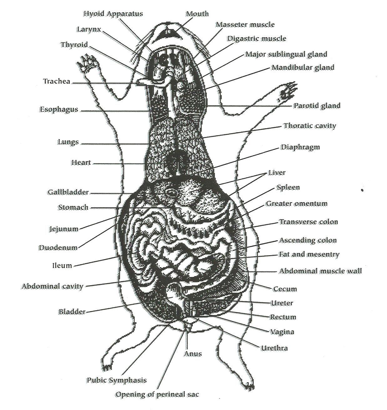 4 h pig diagram 1999 saab 9 3 wiring cavy intestines tennie pinterest and animal