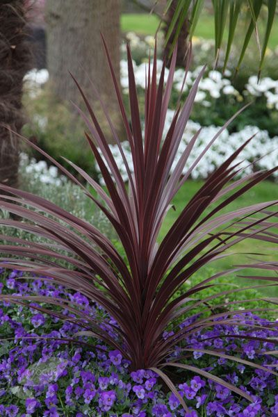 Buy Cabbage Tree Cordyline 'Red Star' Delivery By Waitrose Garden