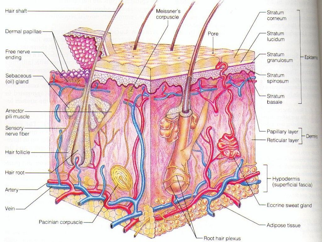 dermis layer diagram international truck codes human epidermis skin