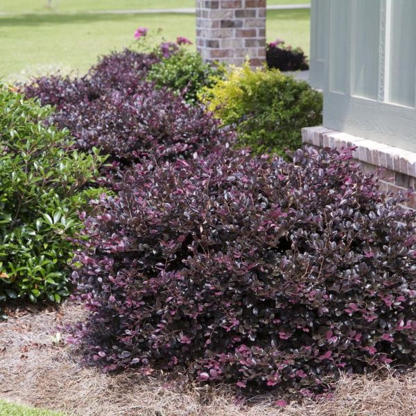 2.5 qt. purple diamond loropetalum