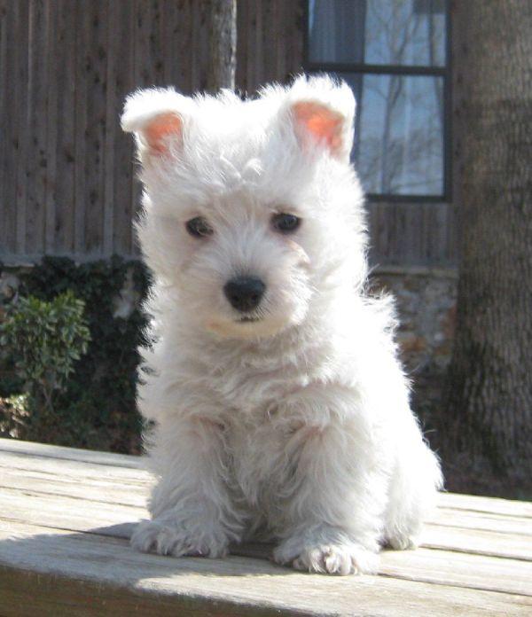 In Arkansas Westie Puppy Distraction