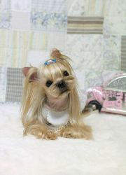 blonde yorkie dont