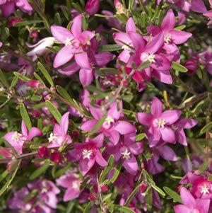 Waxy leaf plant with pink flowers zoshwiki crowea exalata waxy star shaped vibrant pink flowers on a small mightylinksfo