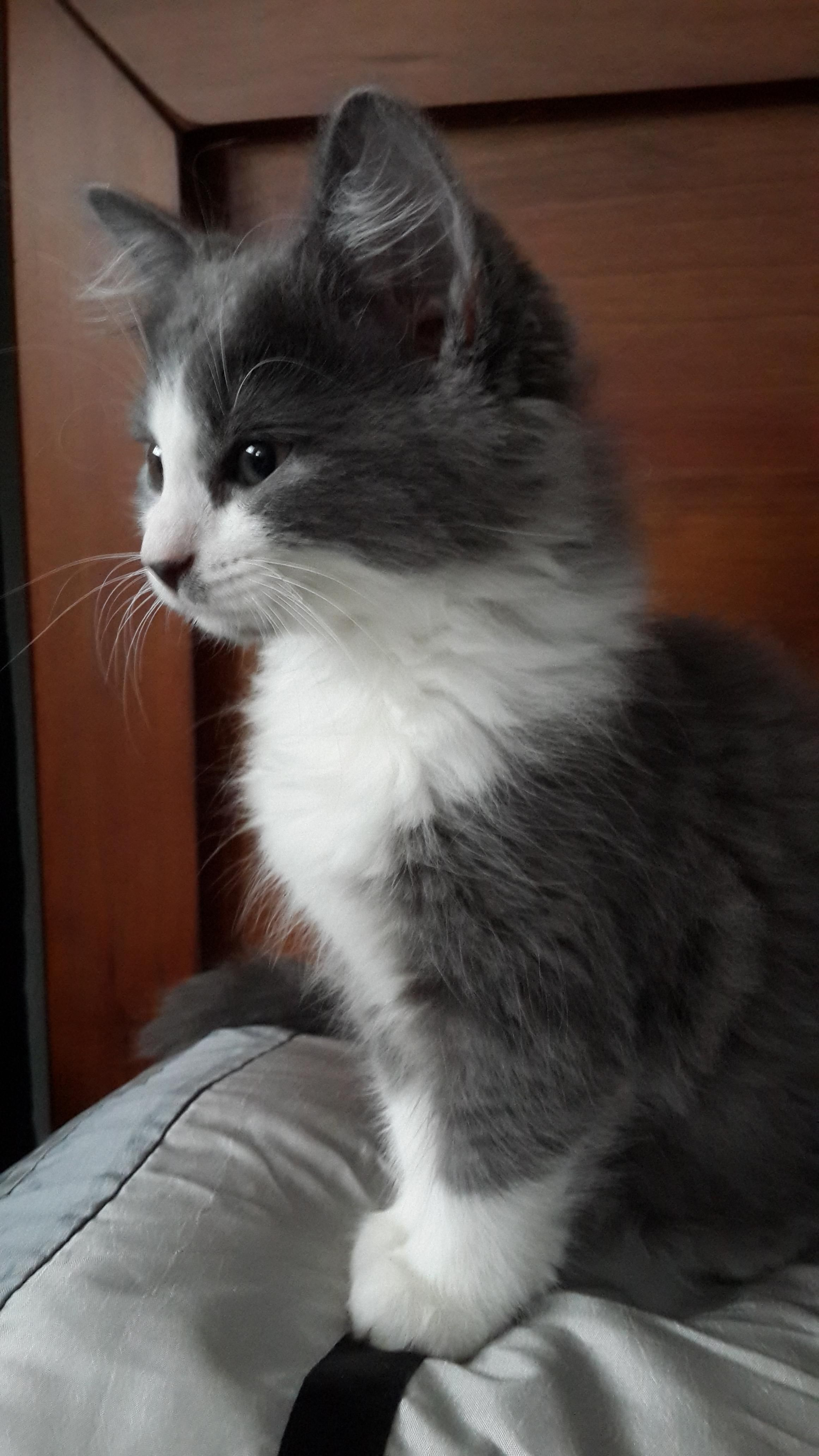 Best 25 Grey and white cat ideas on Pinterest