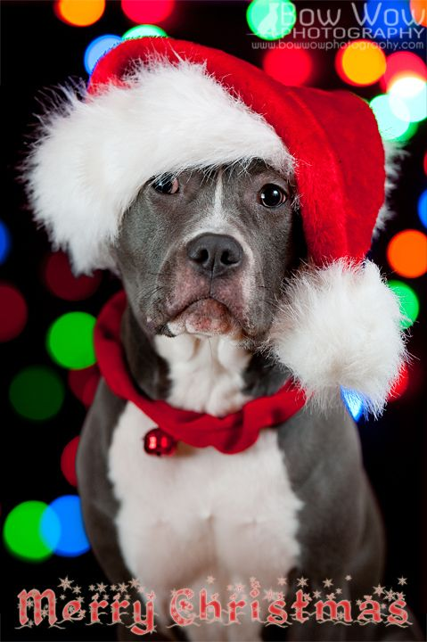 Awwwww Merry Christmas I LOVE Pitbulls Pinterest