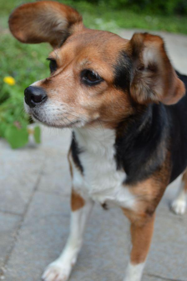 Cheagle Chihuahua Beagle Mix