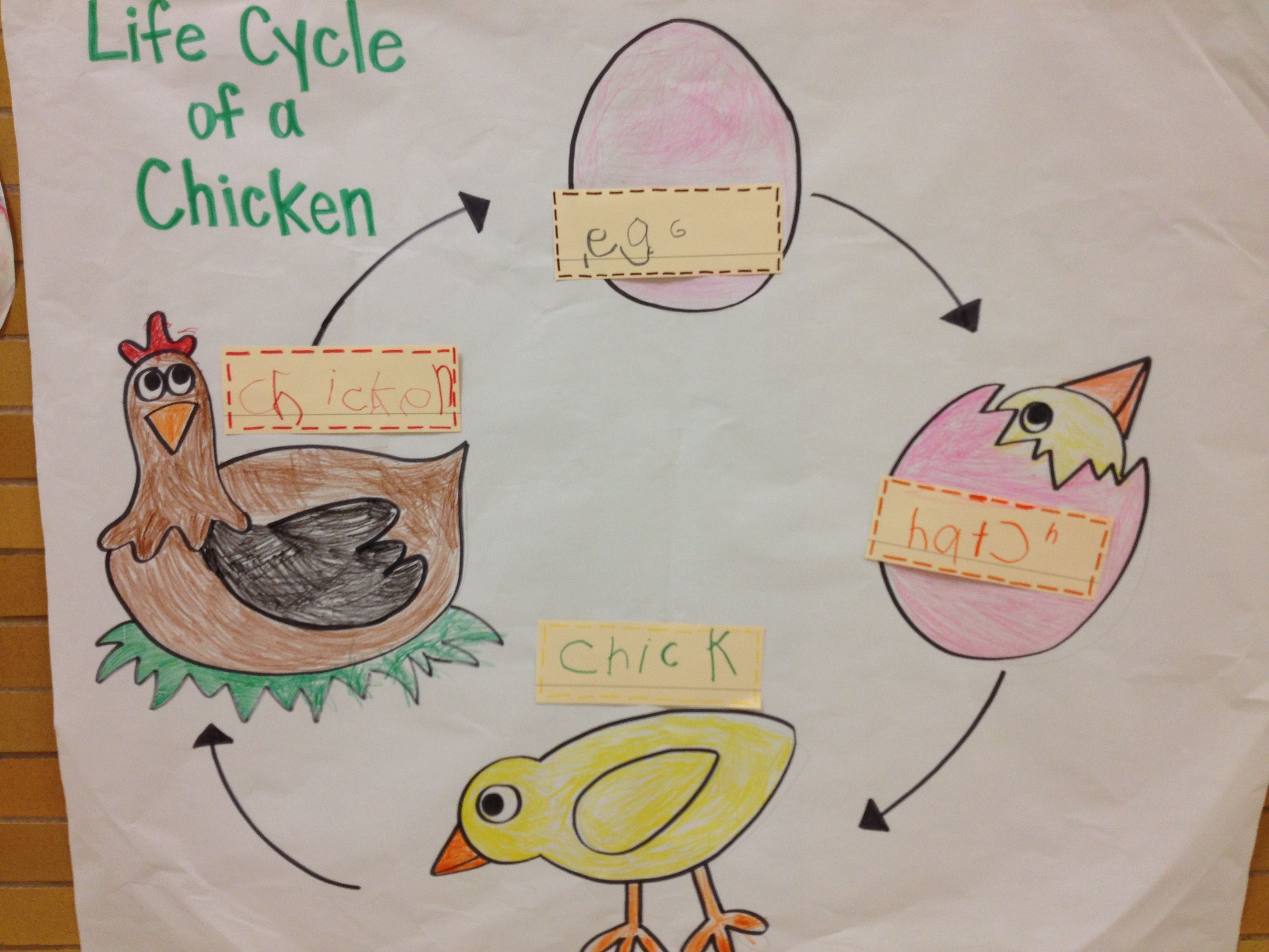 Life Cycle Of A Chicken Interactive Writing