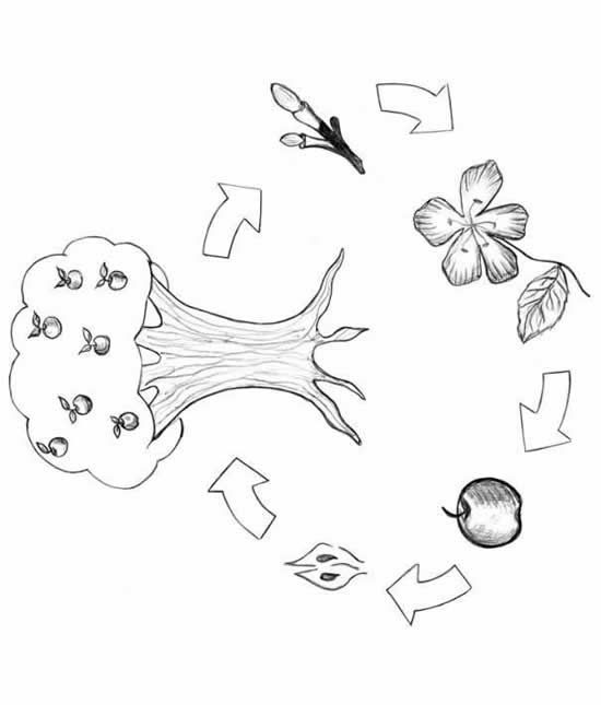 Apple Tree Life Cycle Coloring Page Sketch Coloring Page