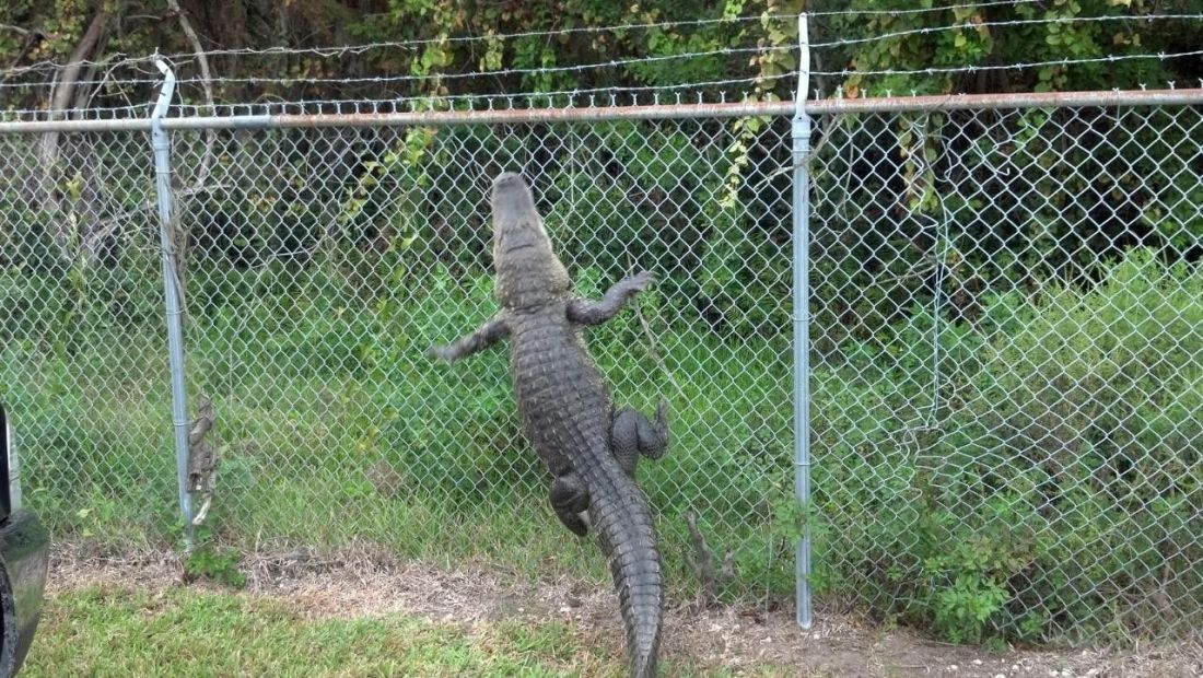 Chain link fence google search animals pinterest