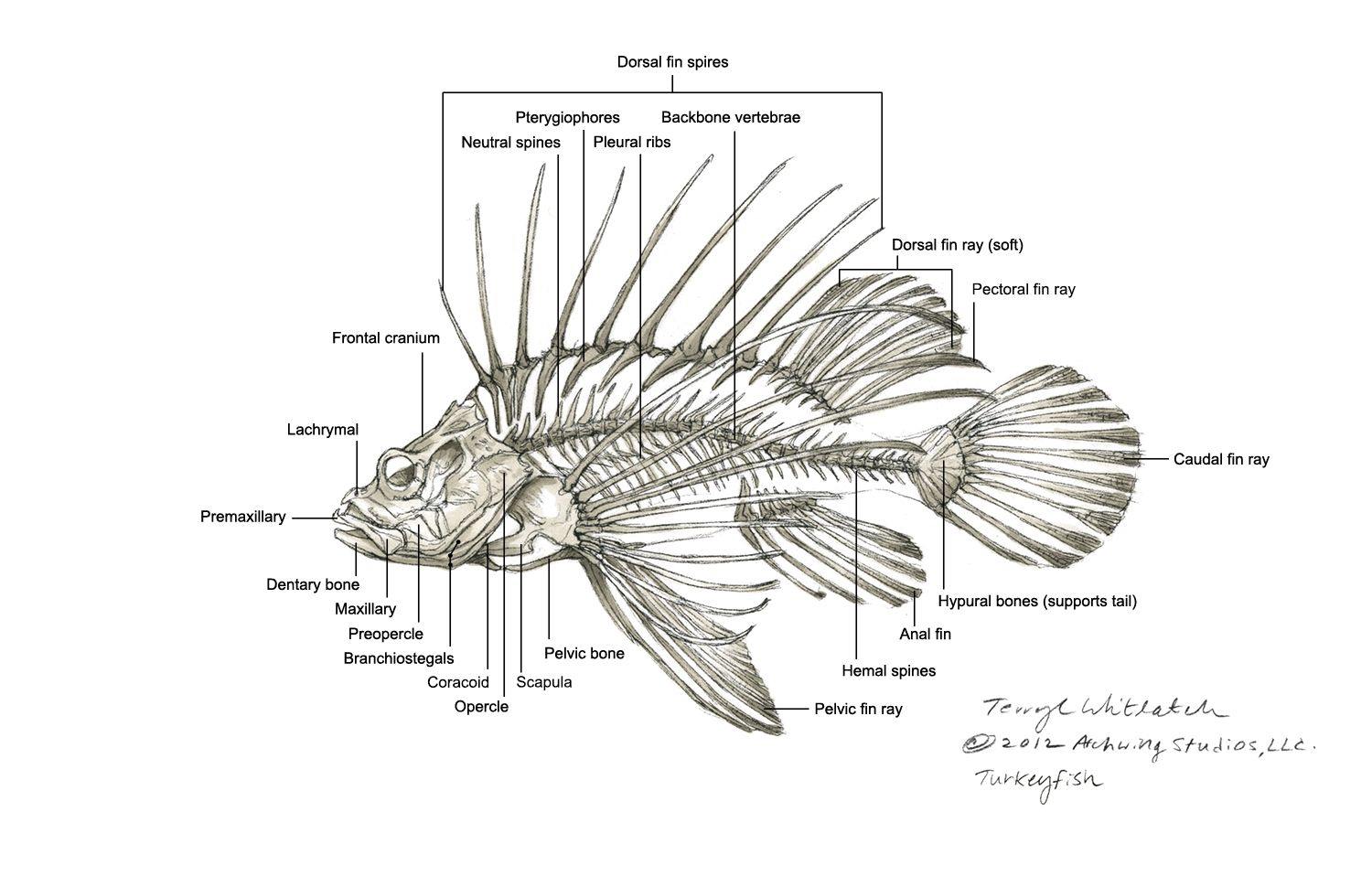 Related Keywords Amp Suggestions For Lionfish Diagram