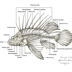 Lion Life Cycle Diagram 2001 Mitsubishi Mirage Radio Wiring Related Keywords And Suggestions For Lionfish