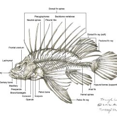 related keywords u0026 suggestions for lionfish diagram marine fish [ 1500 x 970 Pixel ]