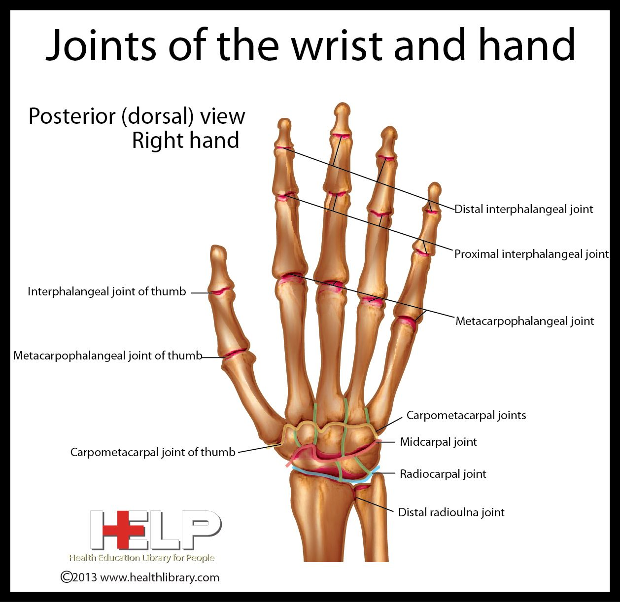 Joints Of The Wrist And Hand
