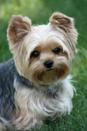 yorkie summer haircuts