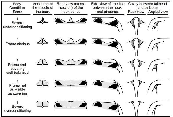 Dairy Cattle Body Condition Scoring Chart (Edmonson et al