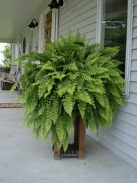 Boston fern, front porch | gardening, diggin' in ...
