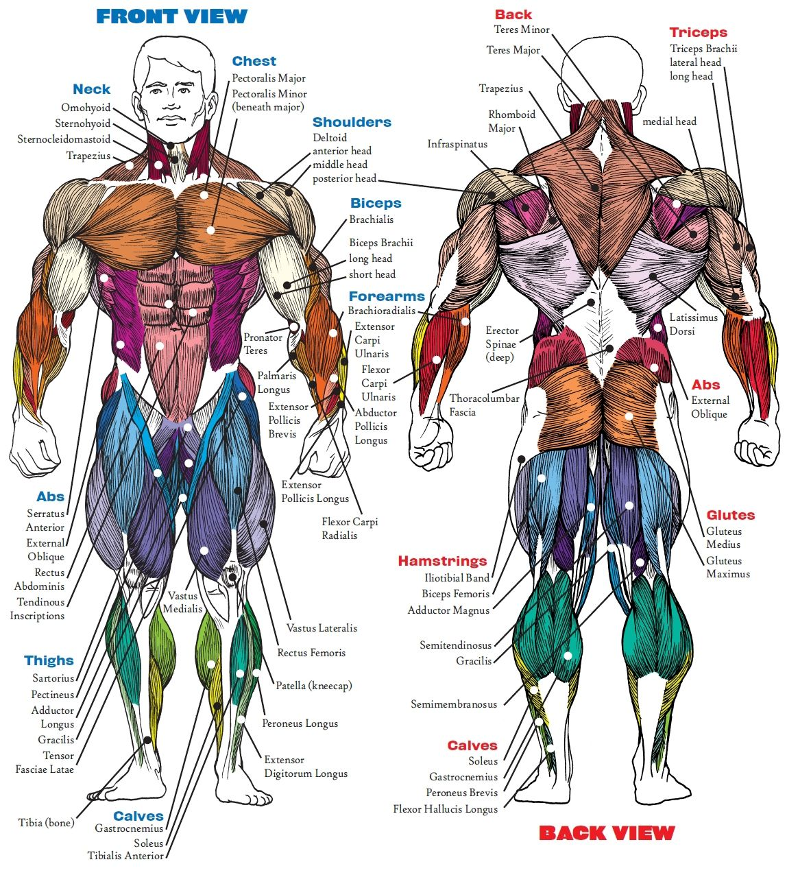 Muscle Anatomy Bodybuilding Book Muscle Anatomy Book Human