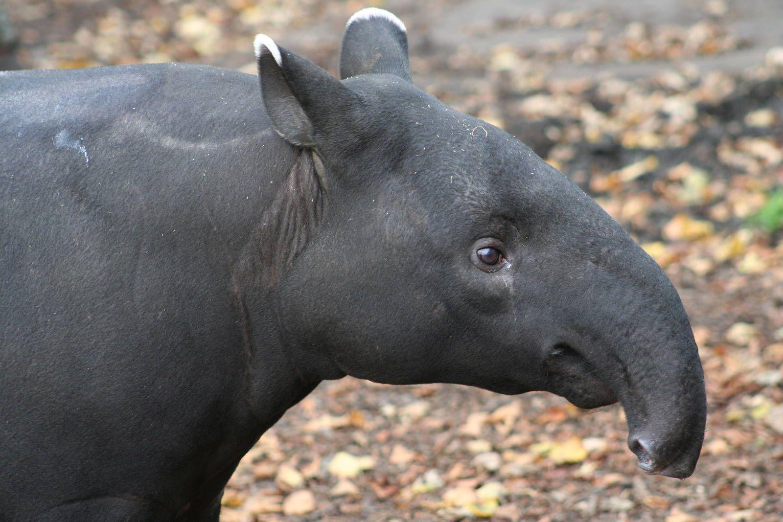 Malayan Tapir Head (side)