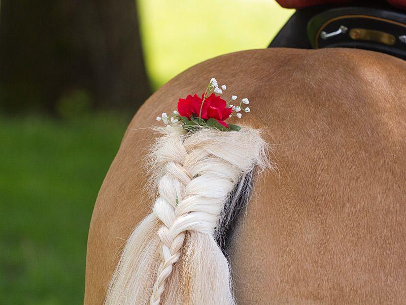 Am Haflinger Pferderennen in Meran  Schweifzopf mit