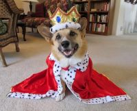 Royal King Corgi - Dog Halloween Costume | Dog Halloween ...