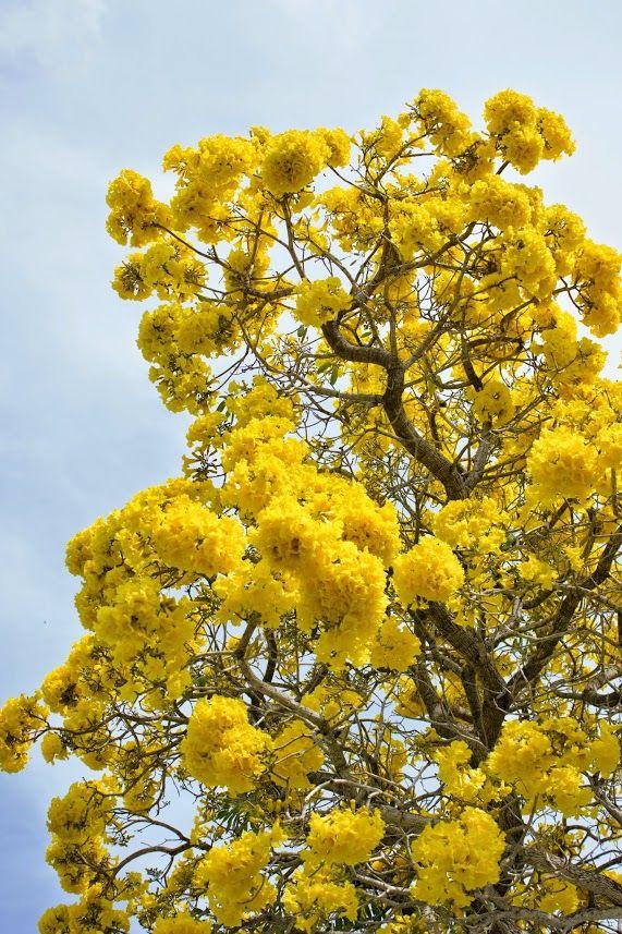 tabebuia tree flowering in south