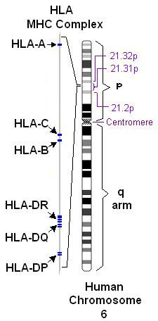 HLA system, most polymorphic in the human genome, on