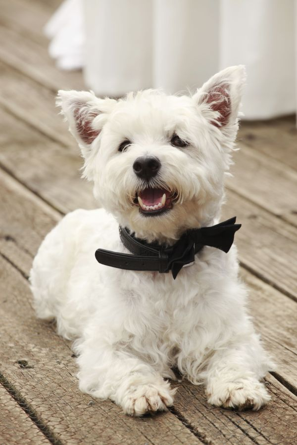 20+ Smiling Westie Pictures and Ideas on STEM Education Caucus