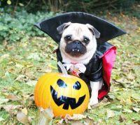 Pugs Puppies In Costumes | www.pixshark.com - Images ...