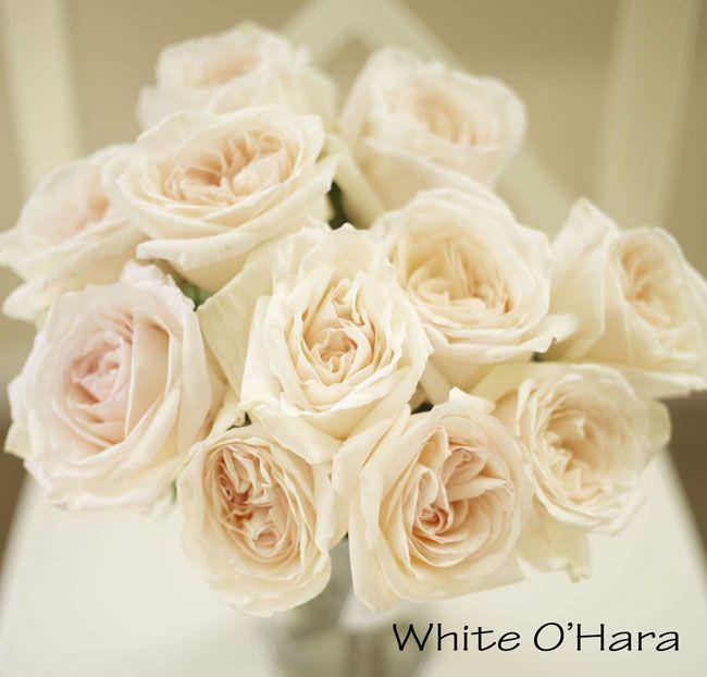 White OHara Garden Rose a blush pink cream large rose
