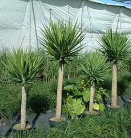 Yucca Plant Care Green Pinterest Planted Yucca Plant And