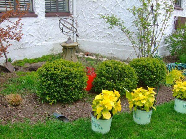 lemon daddy hydrangea front yard