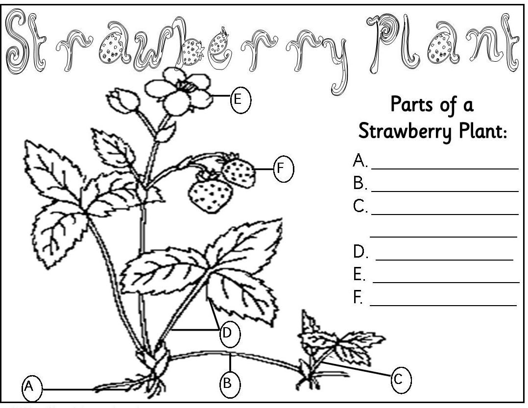 Parts Of A Plant Colouring Pages