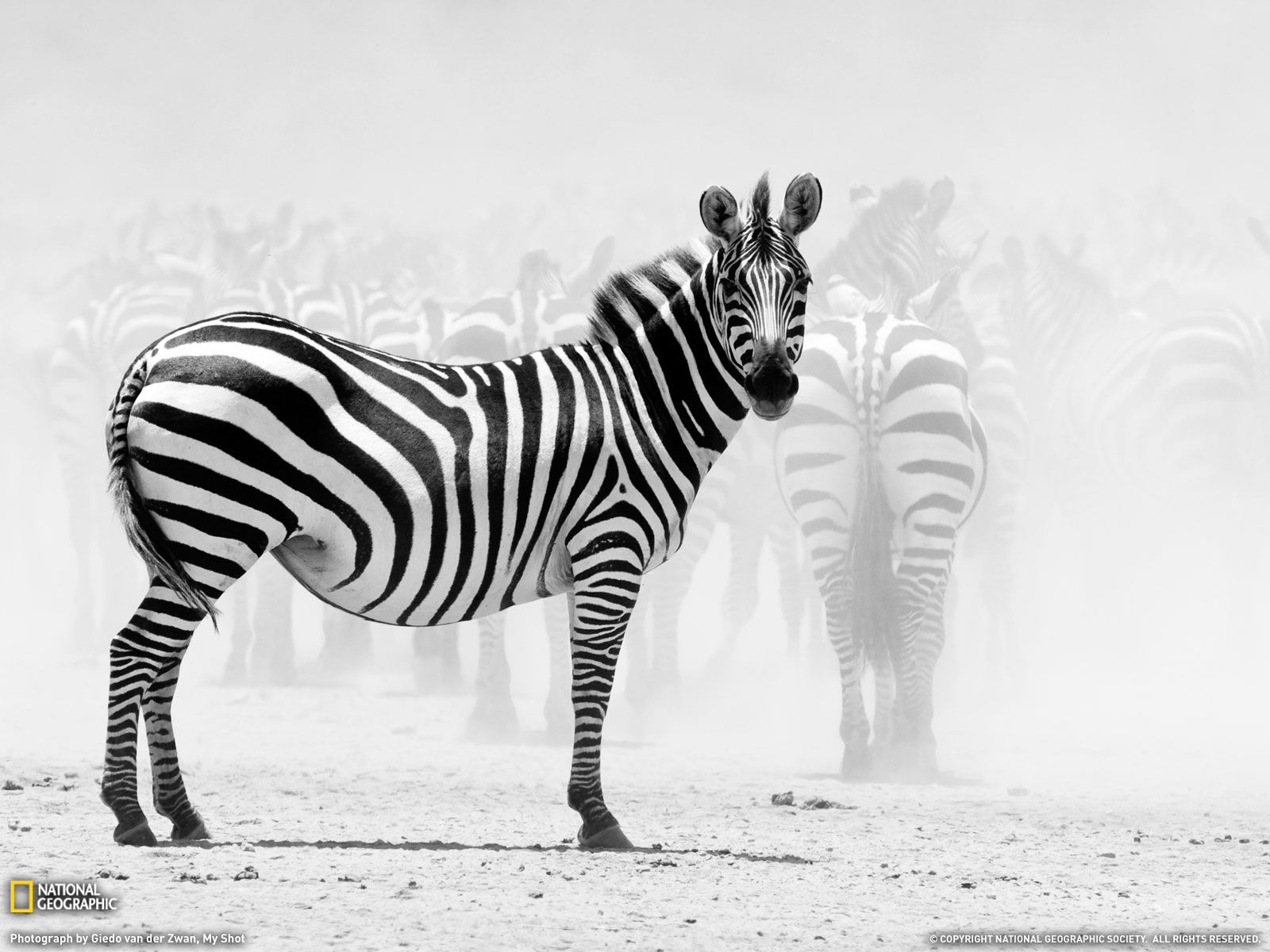 best-animal-wallpaper-16 | animals | pinterest | zebra wallpaper
