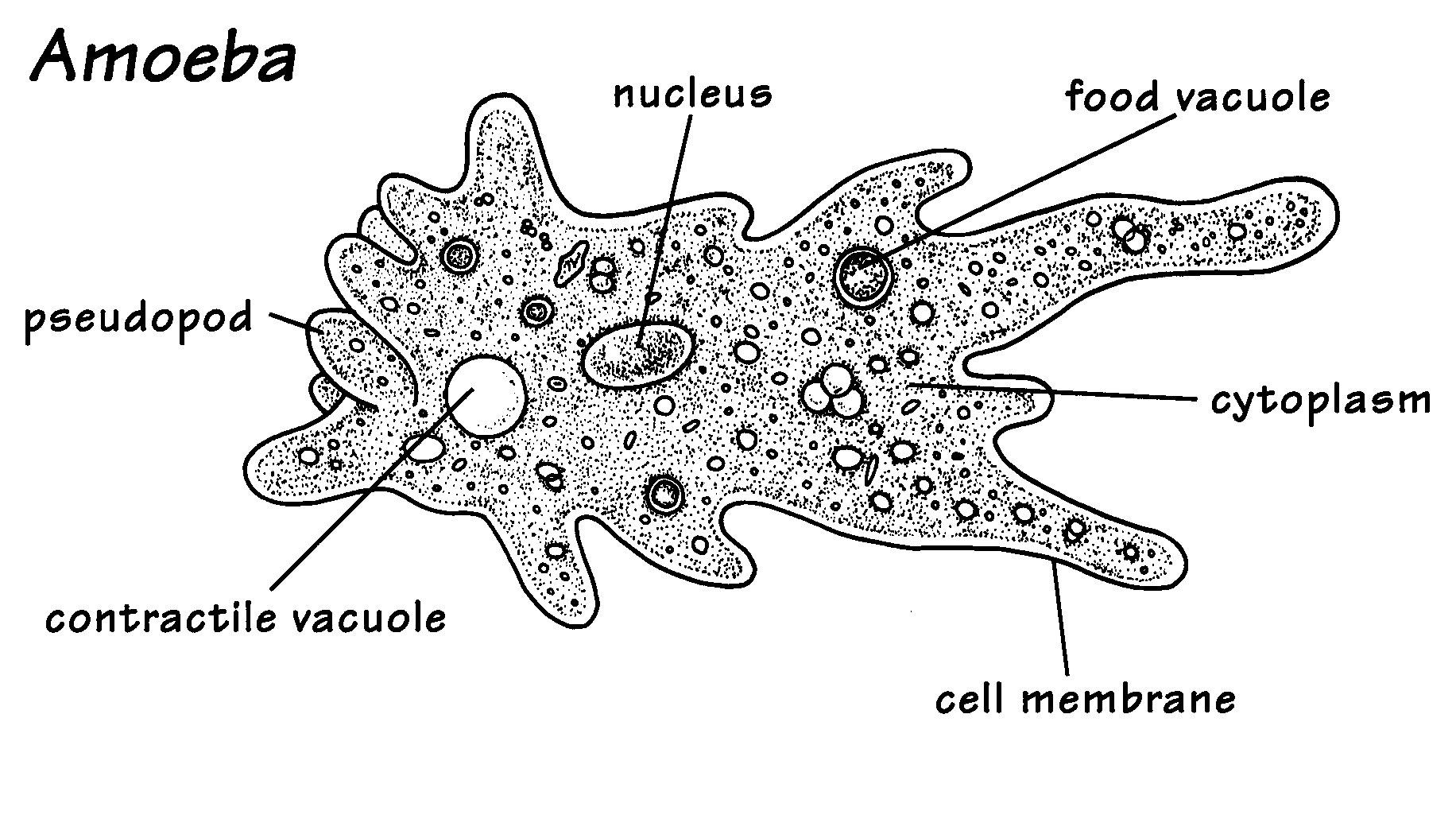 amoeba cell diagram horse skeleton blank this is a unicellular organism the which made