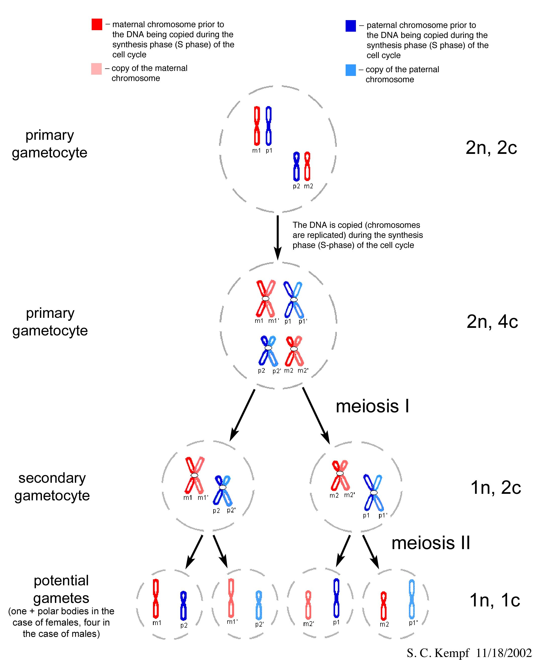 Section 1 Reinforcement Cell Division And Mitosis