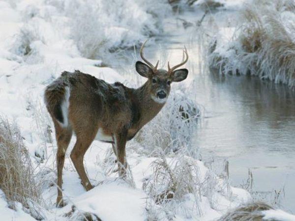 Winter Deer Wallpaper Backgrounds 800 600 Wildlife Wallpapers 38 Adorable