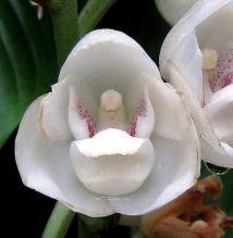 "Peristeria Elata - Orchid ""flower Of"