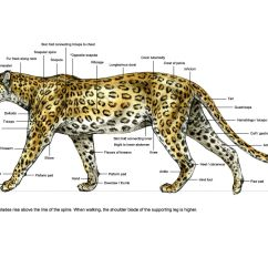 Snow Leopard Anatomy Diagram Ford Solenoid Wiring Of A Spotted Ortho Surface