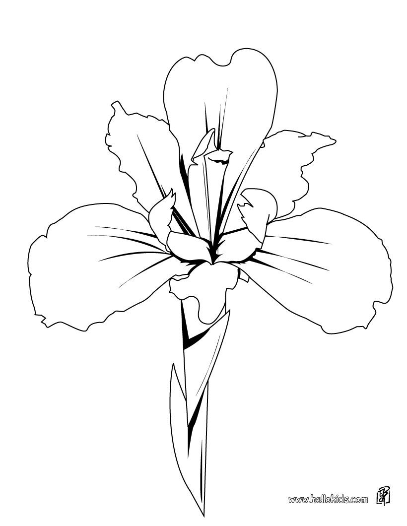 iris drawing FLOWER coloring pages : 43 free online