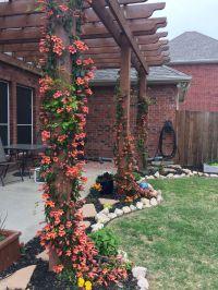 Tangerine crossvine on pergola. North Texas backyard ...