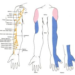 Lumbar Spinal Nerves Diagram 2002 Pt Cruiser Wiring Of The Muscular And Cutaneous Branches