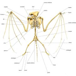 Simple Bat Diagram Electric Wiring Of Car Skeleton Jpg 12351183 Creature Ref Dragons