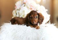 Teacup Dachshund!! Too cute!!! | Hodge Podge. | Pinterest ...